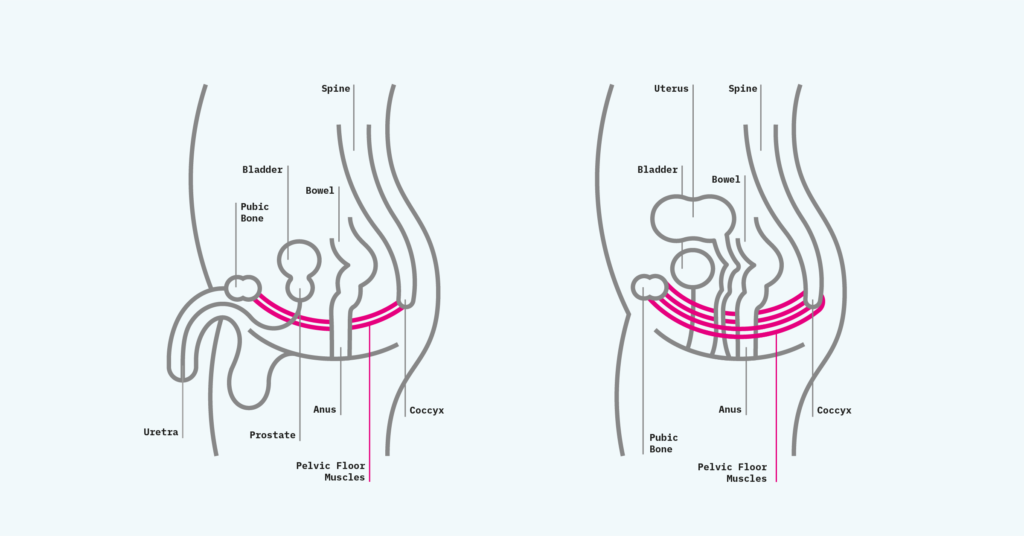 Support_In_Continence_Infographics_Male & Female Pelvic Floor Muscles