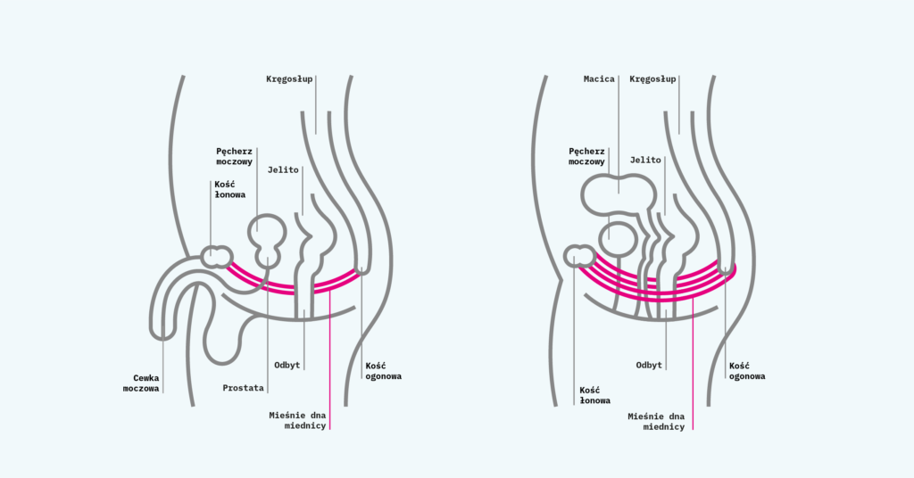 Support_In_Continence_Infographics_Male & Female Pelvic Floor Muscles PL